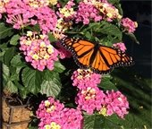 Monarch butterfly sitting on pink flowers.