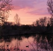 Silhouette of goose on a pond at sunset