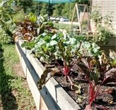 A raised bed garden with greens growing out of it.