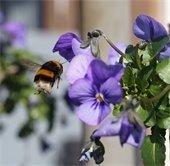 A bee flying towards a purple flower